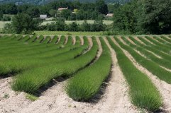 1a_Lavendar field