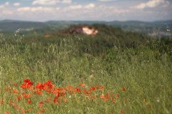 5b_Poppies and wild oats Roussillon