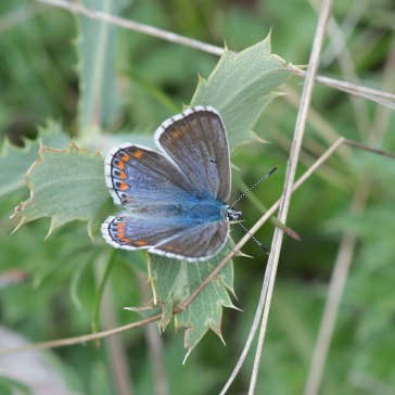 Adonis Blue female 1