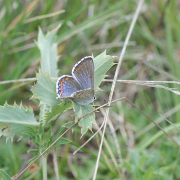 Adonis Blue female 3