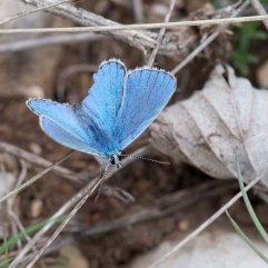Adonis Blue Male 1