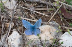 Adonis Blue Male 2