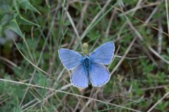 Adonis Blue Male 3