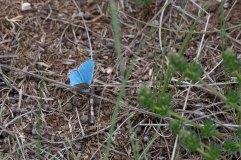 Adonis Blue Male 4