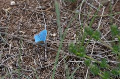 Adonis Blue Male 4