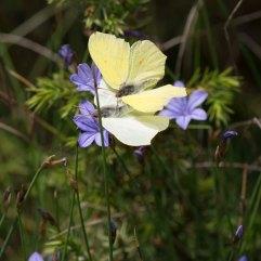 Brimstone butterflies mating