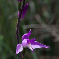 Cephalanthera rubra 3