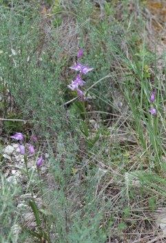 Cephalanthera rubra patch
