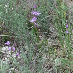 Cephalanthera rubra patch