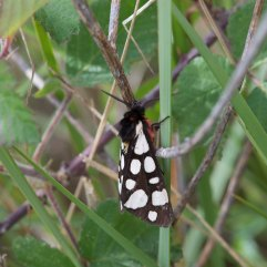 Cream spotted Tiger Moth