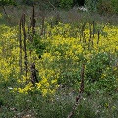 Diplotaxis tenuifolia 2
