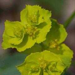 Euphorbia serrata 2