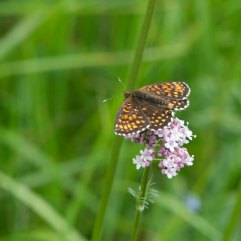 False Heath Fritillary 2