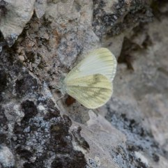 Fentons Wood White