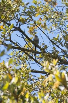fork-tailed bird