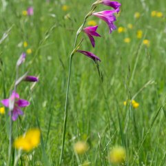Gladiolus italicus 2