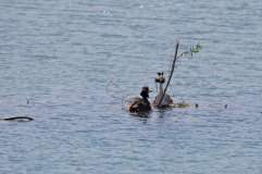 Great Crested Grebes making nest 2