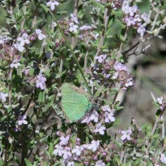 Green hairstreak 1