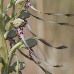 Himantoglossum hircinum 2