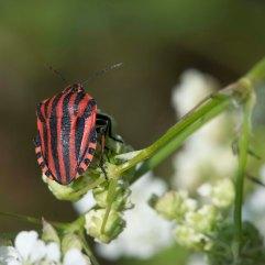 Minstrel bug Graphosoma lineatum 2