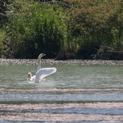 Mute swans aftersex high