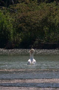 Mute swans courting
