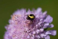 Napoleon Spider on scabious 2