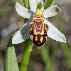 Ophrys apifera (2)