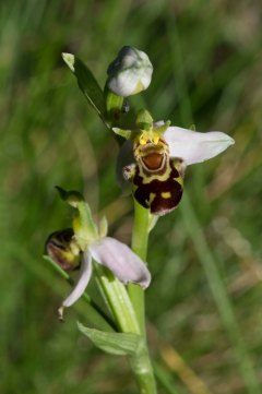 Ophrys apifera 3