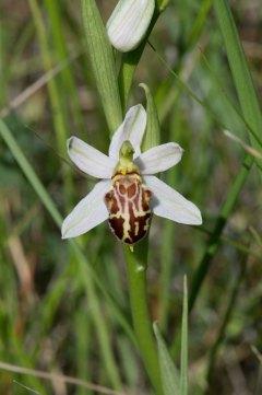 Ophrys apifera unusual