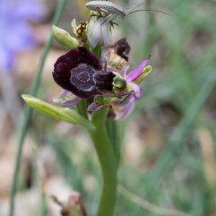 Ophrys drumana and grasshopper 2