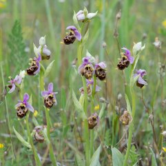 Ophrys scolopax patch 2