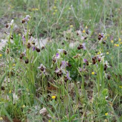 Ophrys scolopax patch