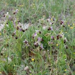 Ophrys scolopax patch