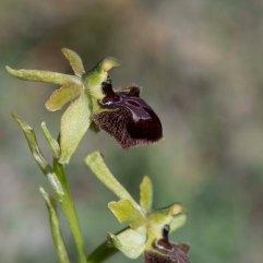 Ophrys sphegodes 1