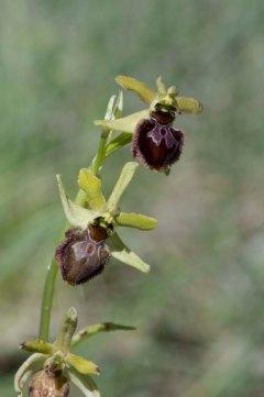Ophrys sphegodes 2