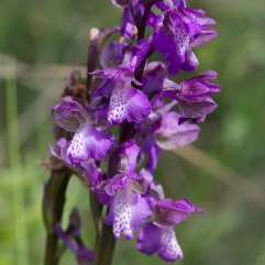 Orchis mascula 2