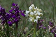 Orchis morio white