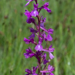 Orchis palustris 4