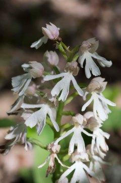Orchis purpurea albino