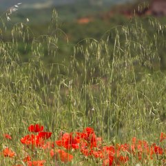 Poppies and wild oats Roussillon 2