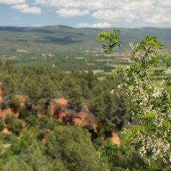 Robinia pseudacacia at Roussillon