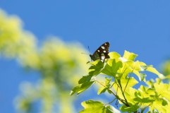 Southern White Admiral (2)