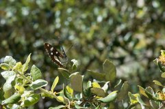 Southern White Admiral underside