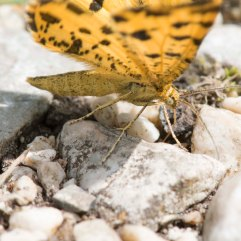 Speckled Yellow moth feeding