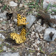 Speckled Yellow moths and friends