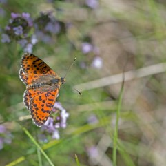 Spotted Fritillary male 2