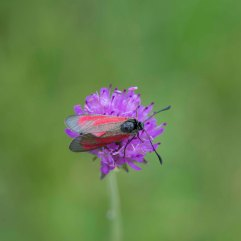 Transparent Burnet moth