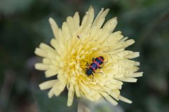 Trichodes apiarius beetle on Urospermum dalechampii 2