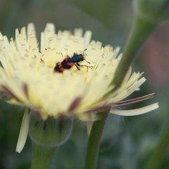 Trichodes apiarius beetle on Urospermum dalechampii